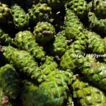 Мед от зелени шишарки