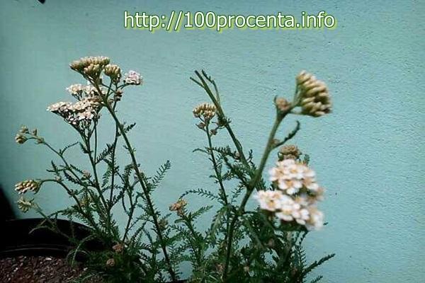 Бял равнец в градината на терасата