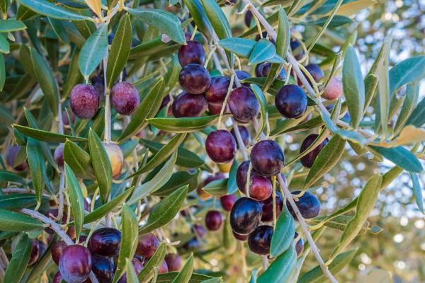 листа на маслина